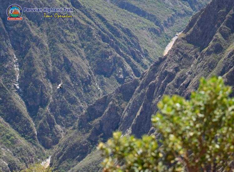 The flight of Andean Condor Chonta
